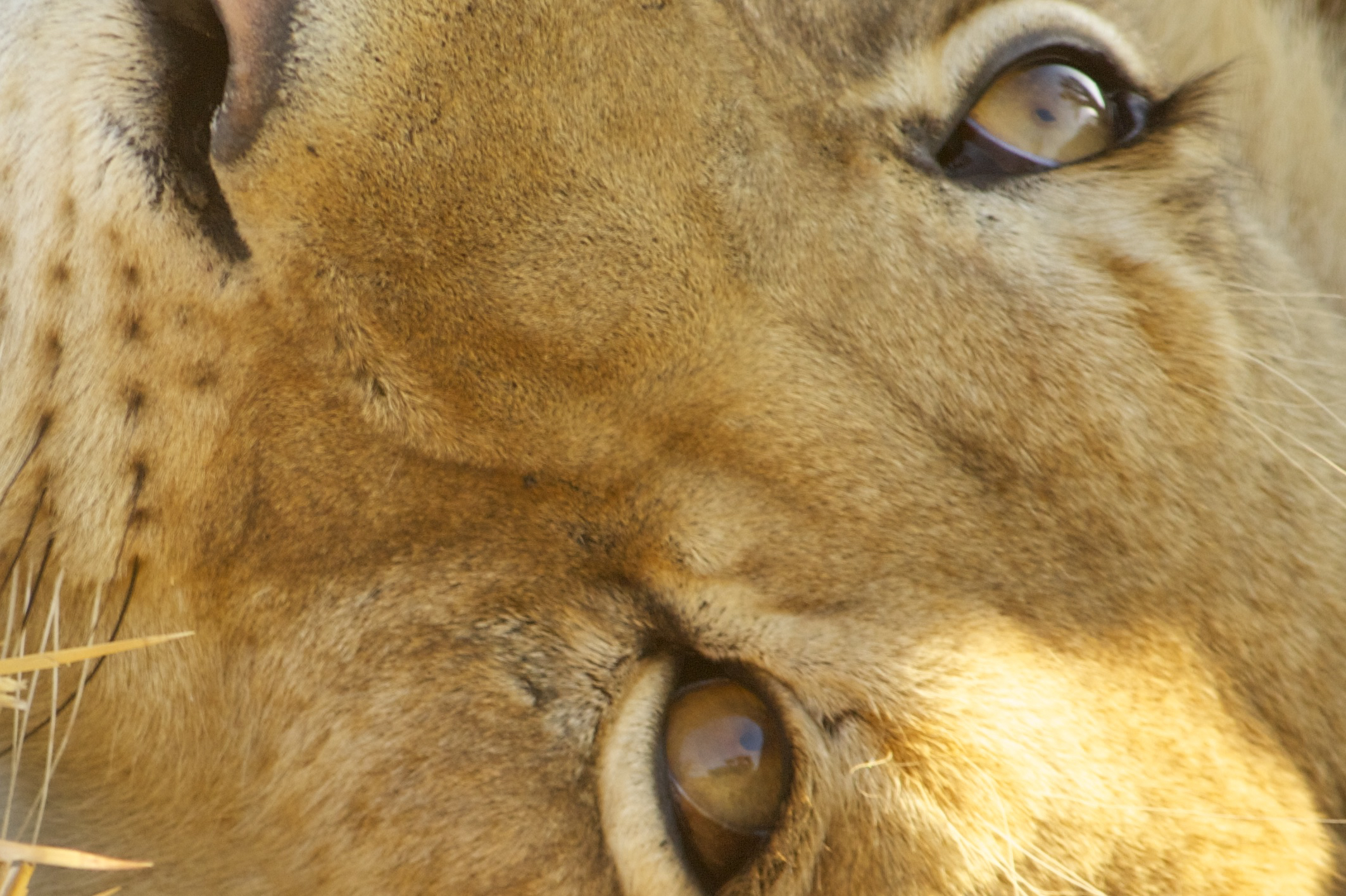 Look into my eye and you will see that I see you...Look at the safari car in my left eye...