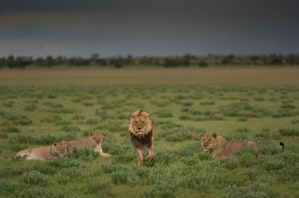 The famed black-maned lions of the Kalahari, popularly described in Mark & Delia Owens' fascinating book; Cry of the Kalahari.