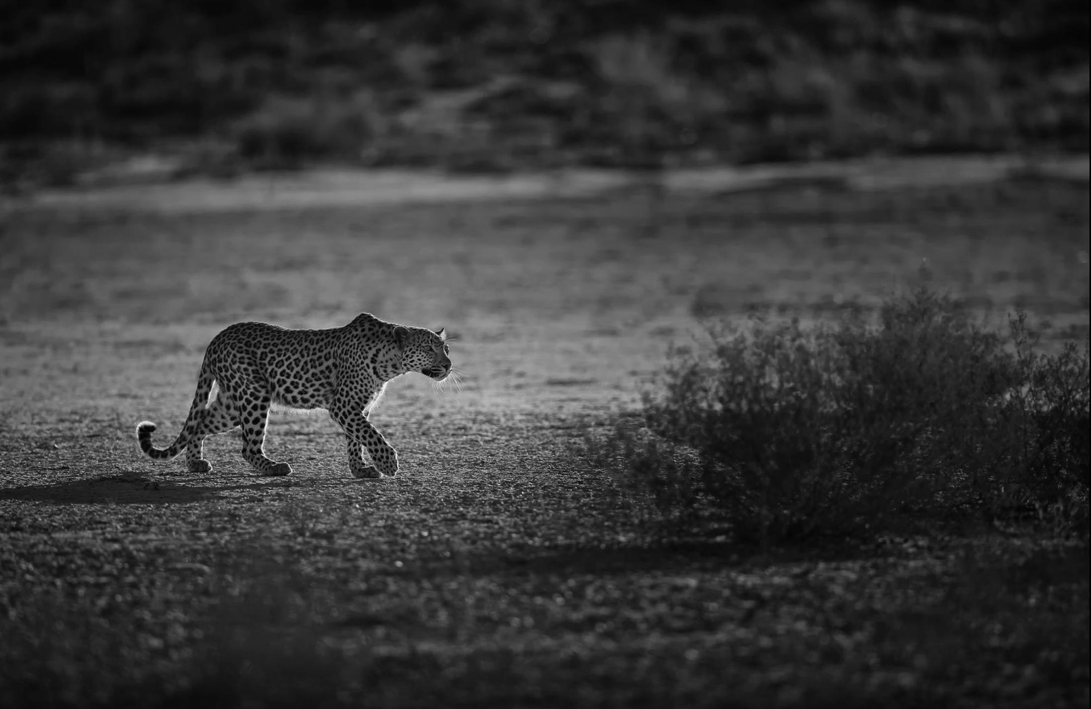 Leopard stalk.png