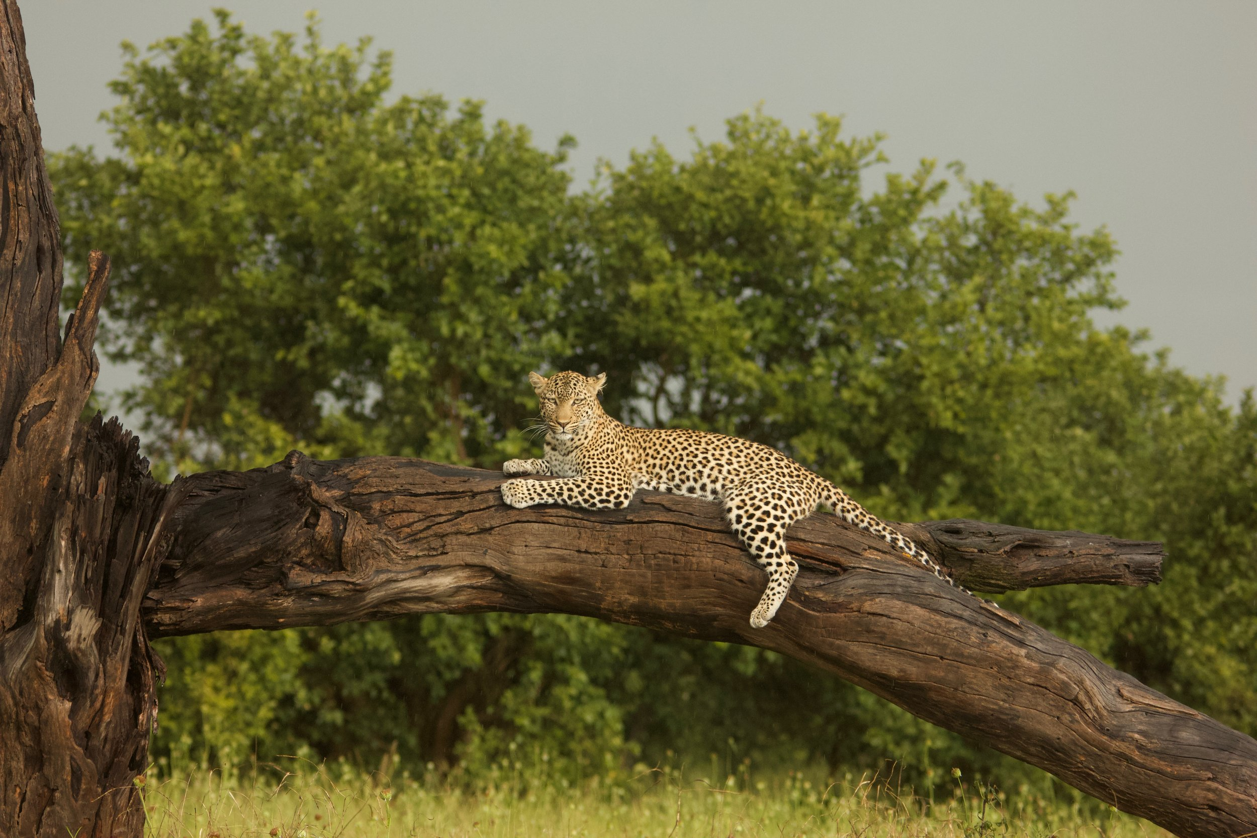 Leopard in the rain. Savuti, Chobe National Park.