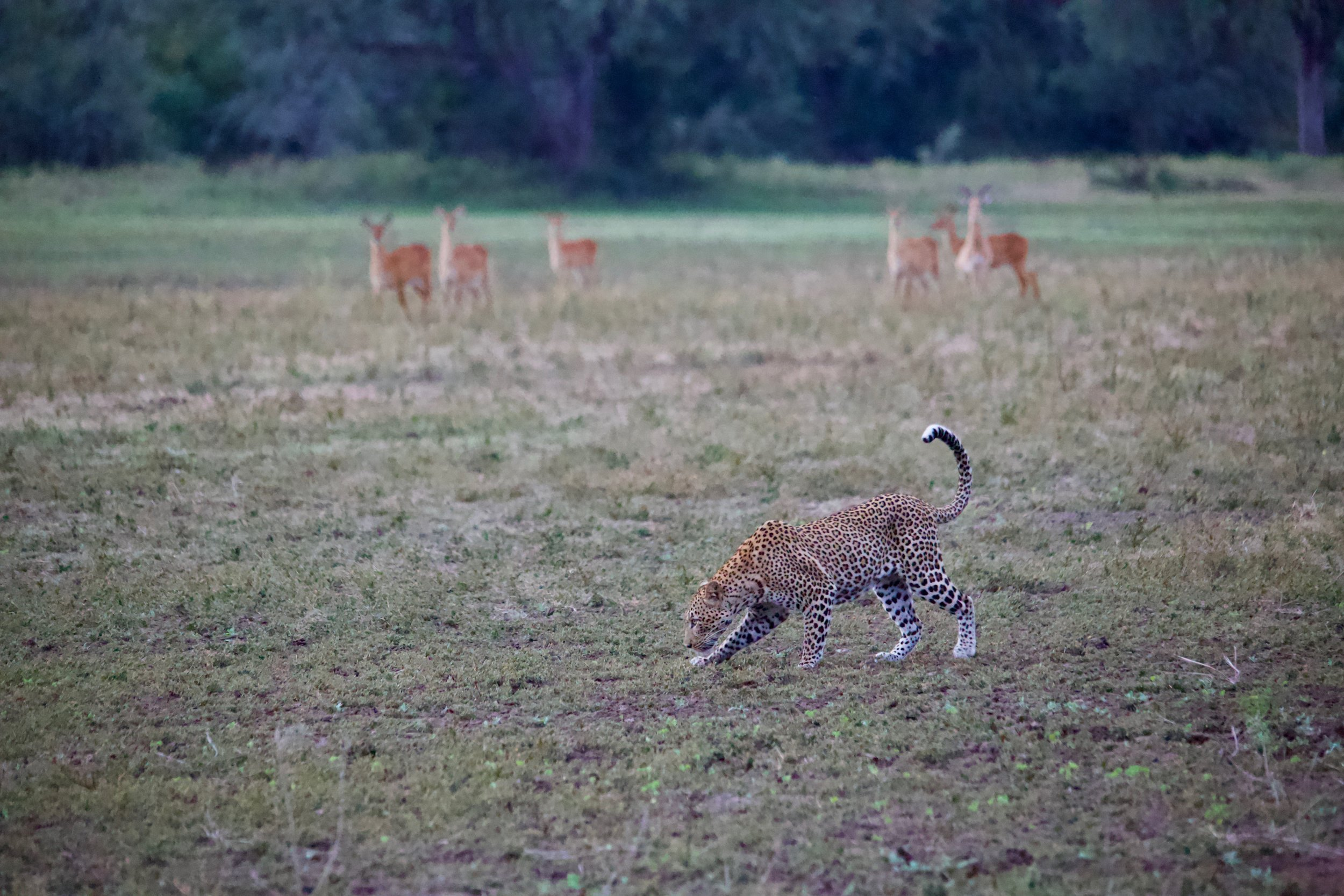 Male leopard with Puku and Impala in the background.