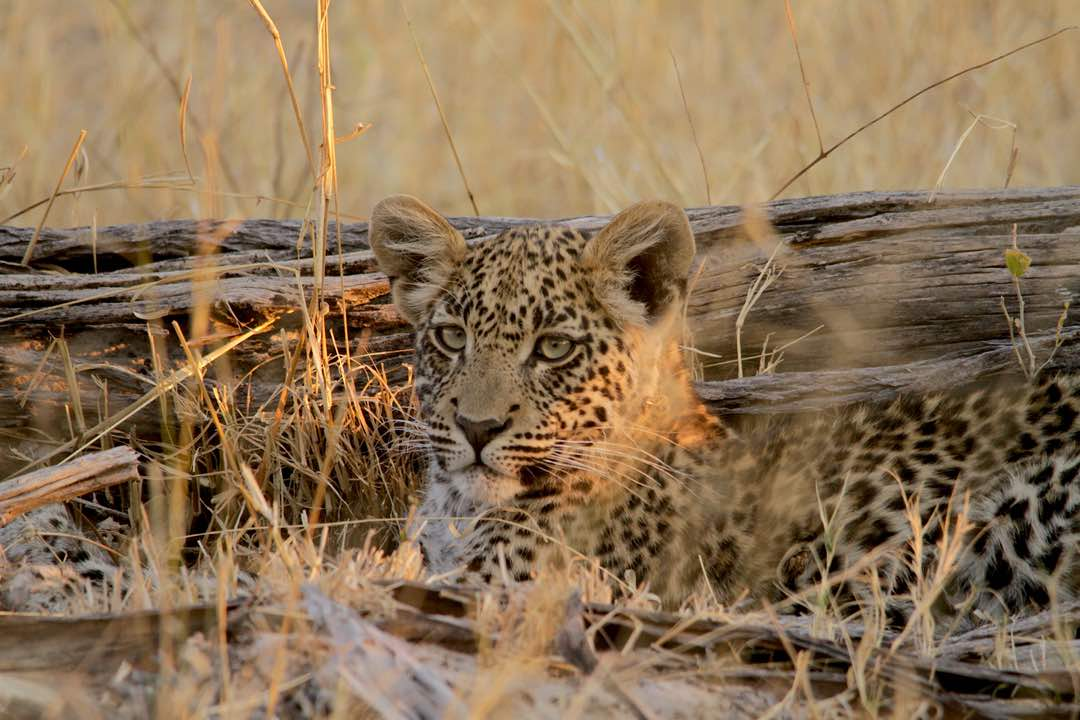 Leopard cub - Moremi Game Reserve