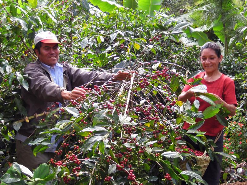 Coffee_Plant.jpg