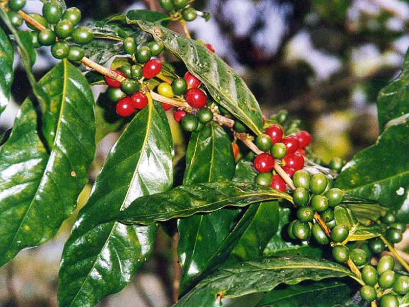 Coffee_Plant2.jpg
