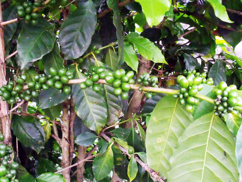 Coffee_Plant3.jpg
