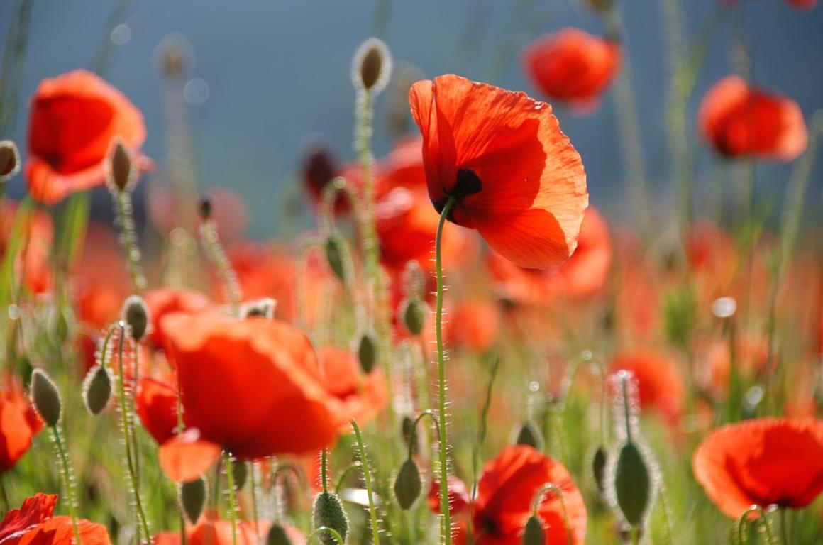 Flor de Amapola (flor) :