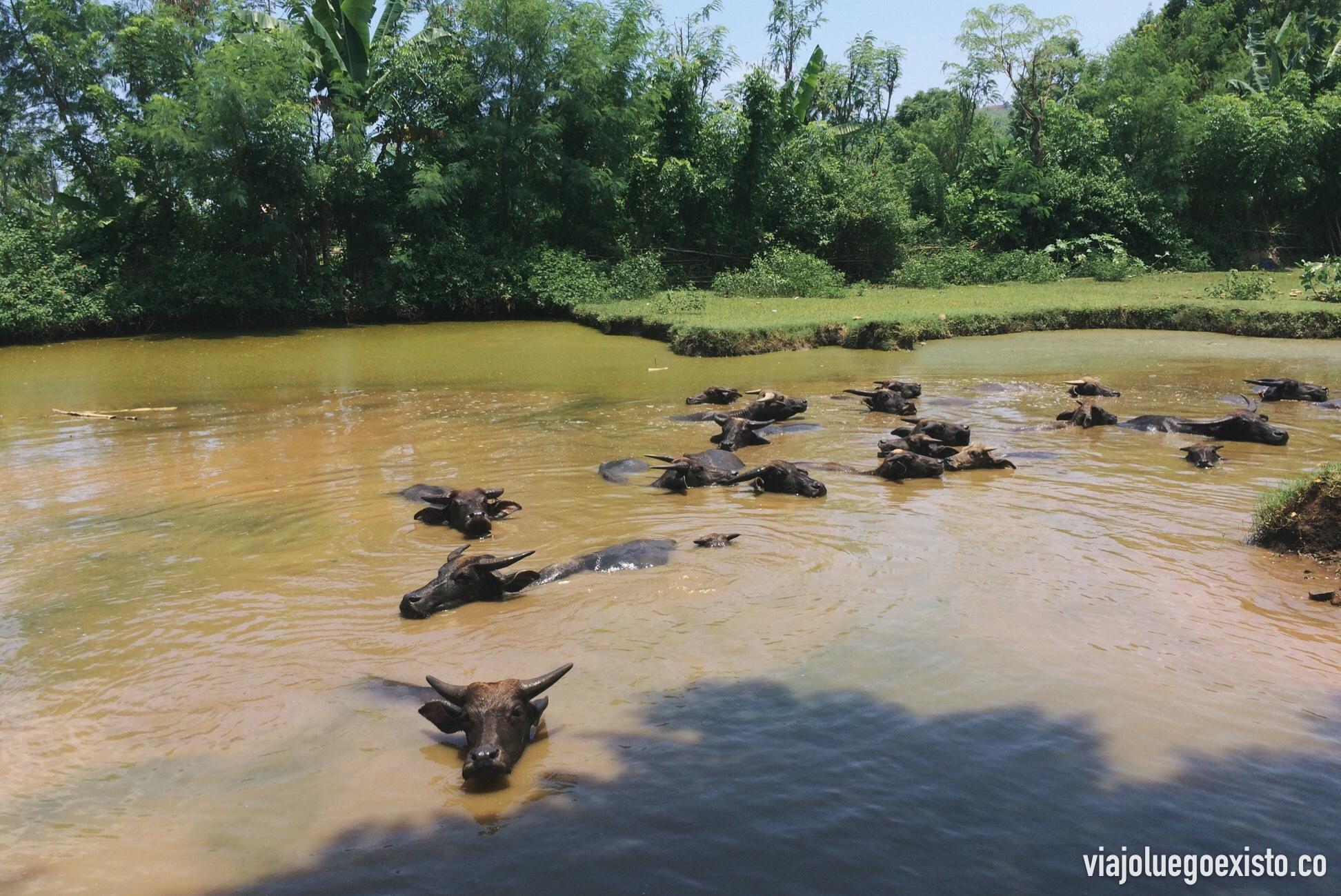 Búfalos en los alrededores de Kuta