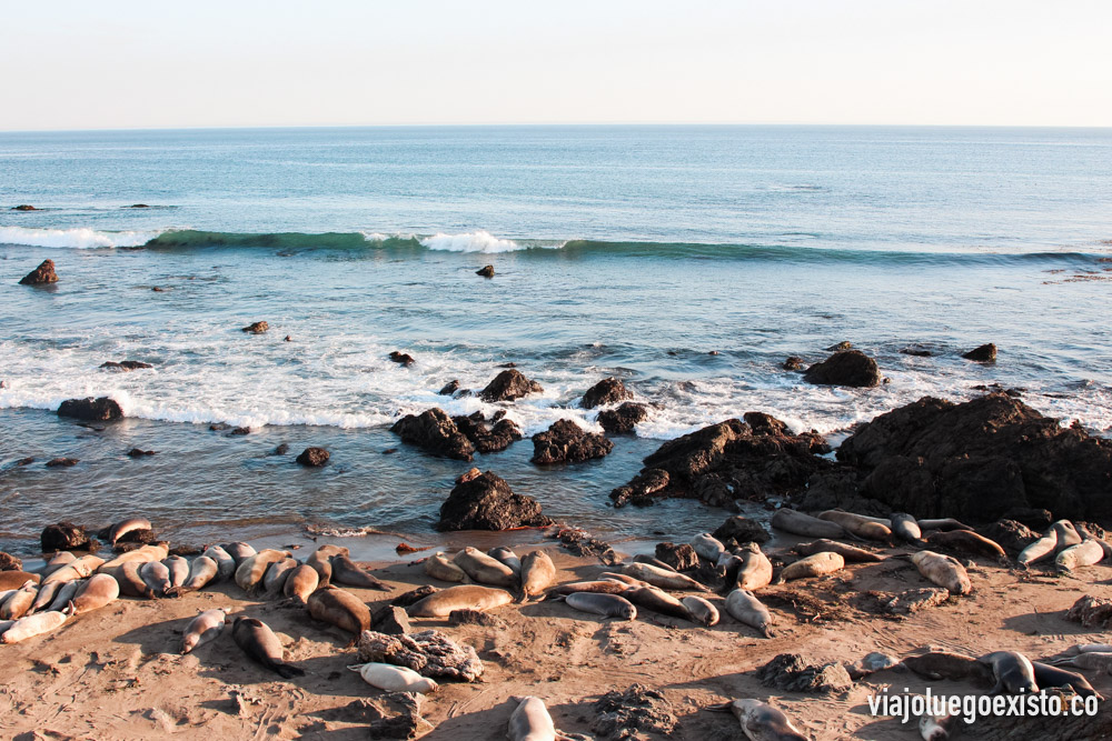 Leones marinos en playa de Piedras Blancas