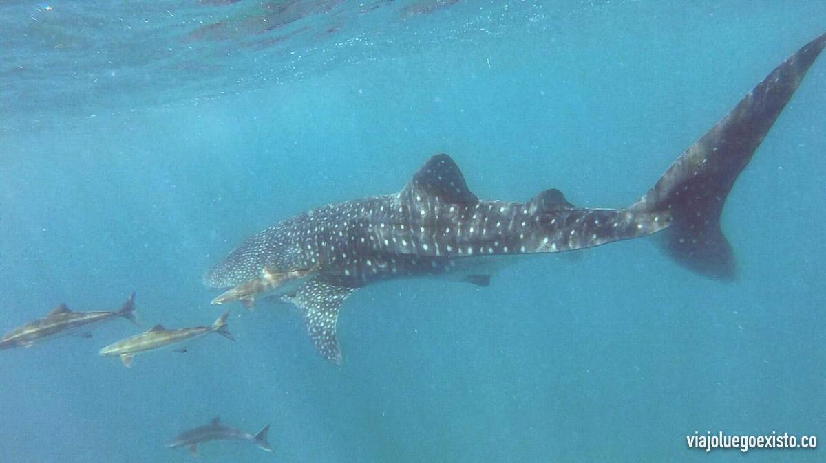 Tuve la suerte de poder nadar con el tiburón ballena, ¡increíble!
