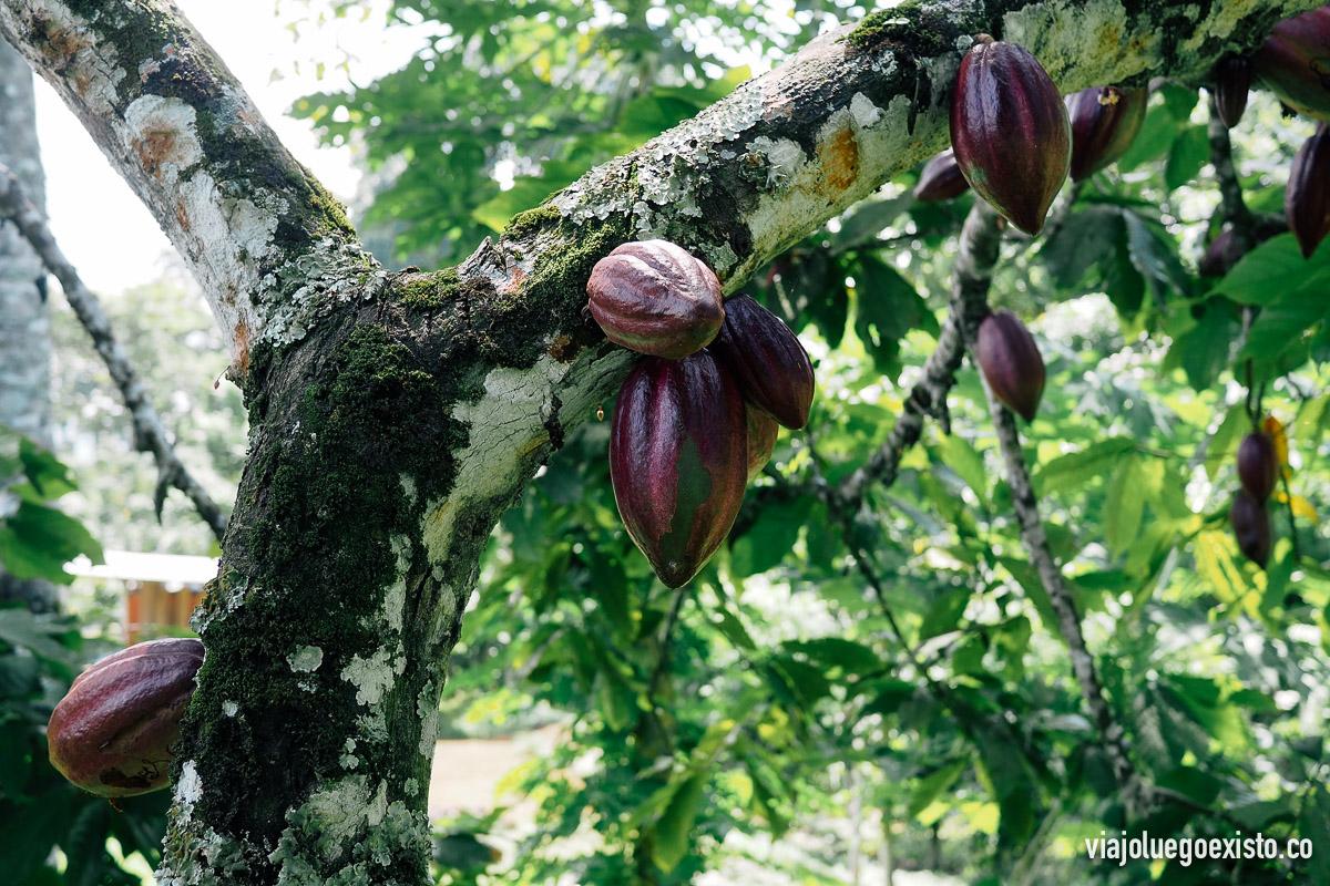 Árbol de cacao en Terreiro Velho