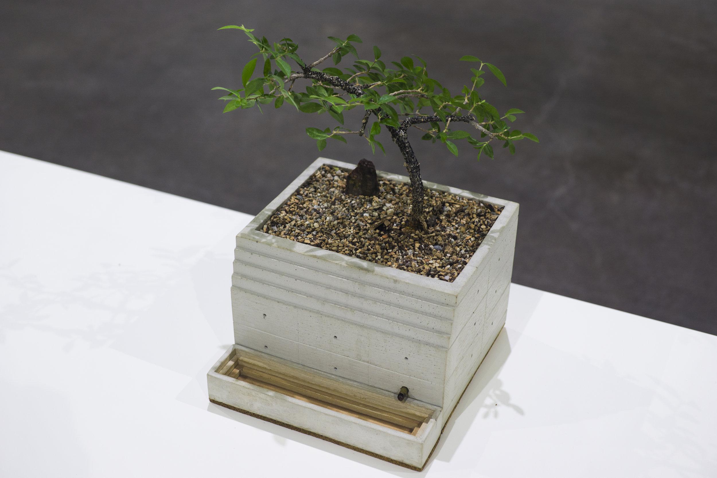 Bonsai2.jpg