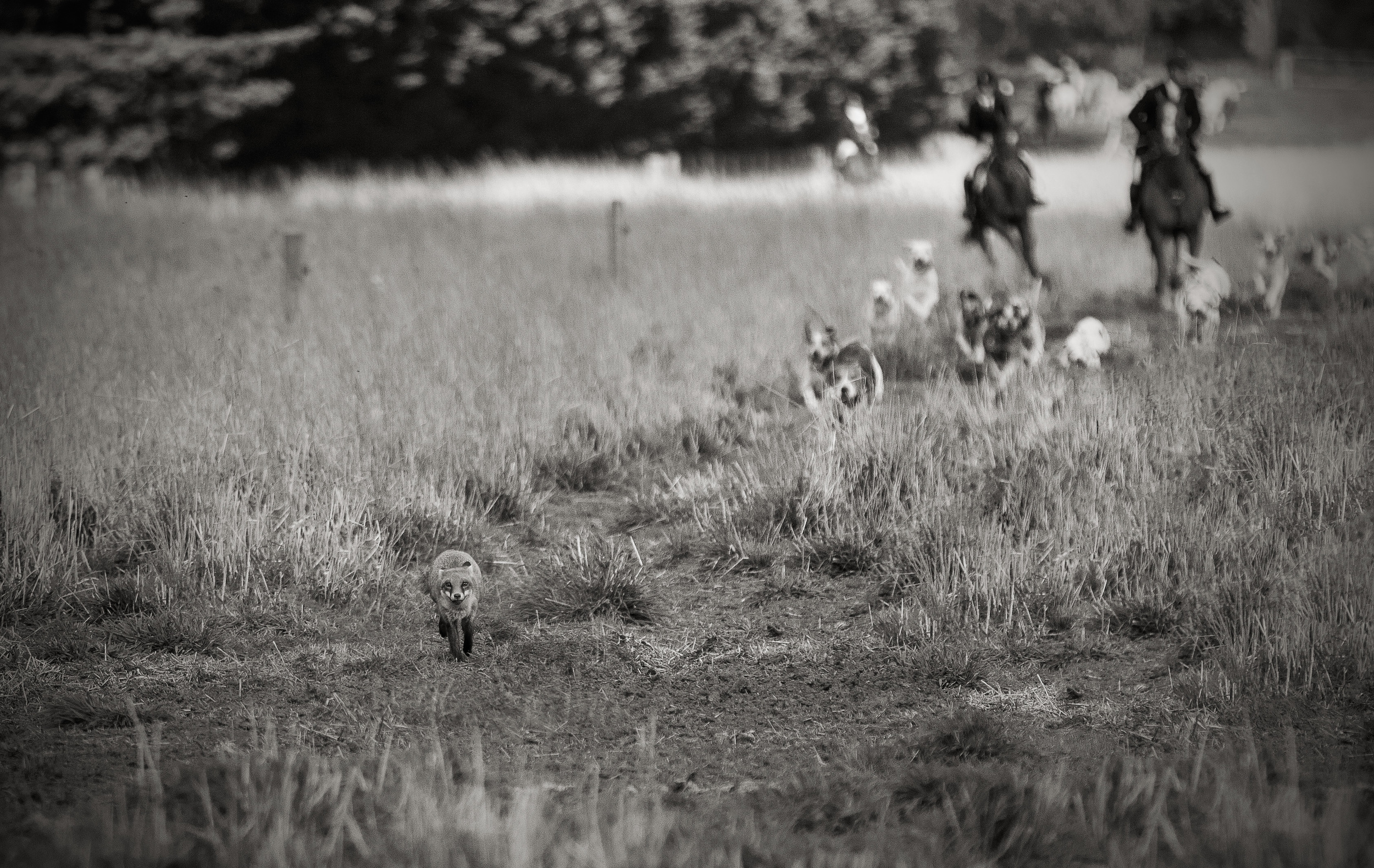 The hounds close in on the fox. Although, foxes are highly intelligent and often still get away.