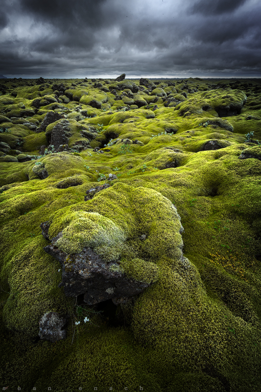 Moss covered  lava  in  Eldhraun  on the south coast of  Iceland.