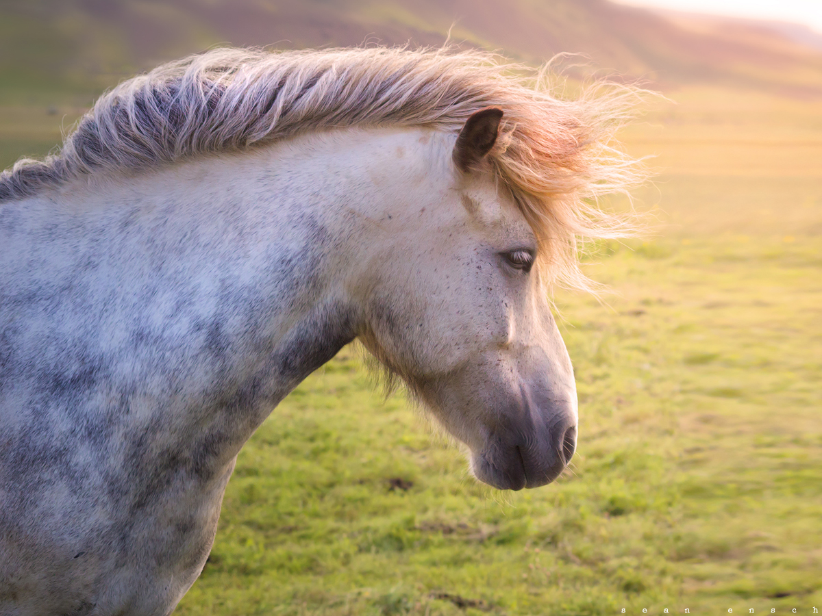 Icelandic horse braving the strong winds.