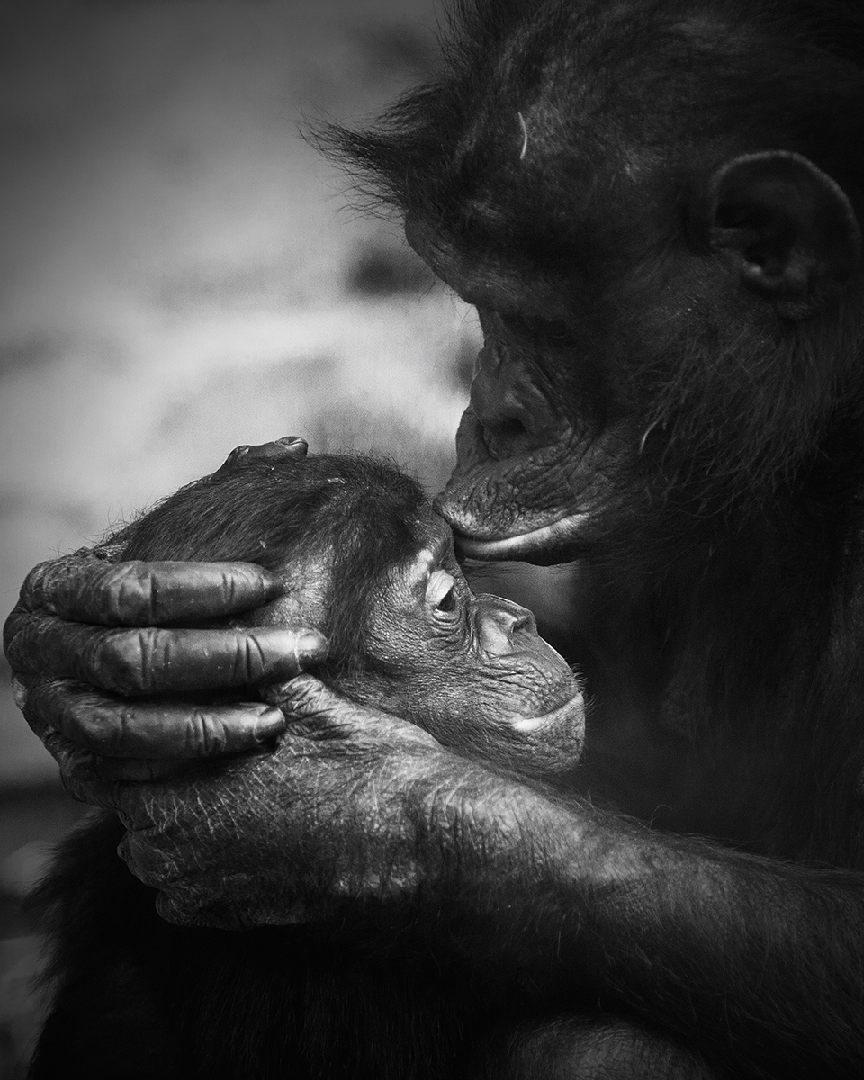 A Bonobo mother, gently kissing her baby on the forehead.   Image by  Niklas Passmann