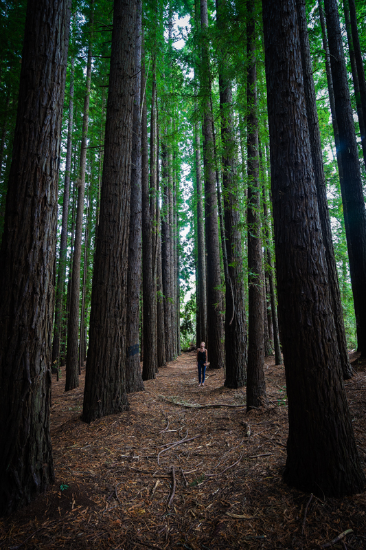 Hidden Redwood Forest