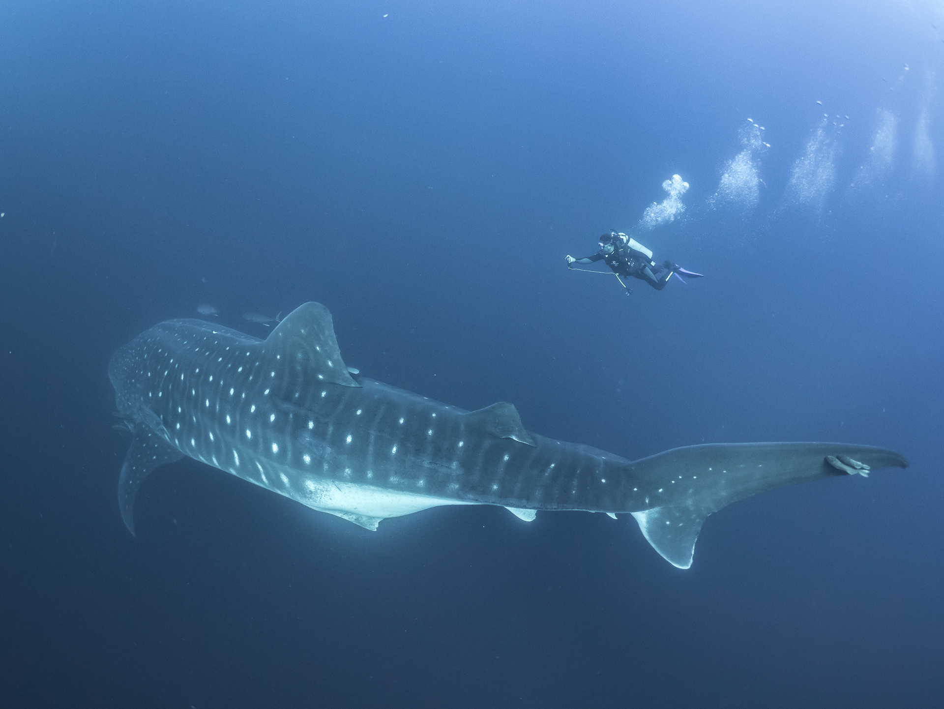 Female Whale Shark off Darwin Island in the northern Galapagos archipelago.