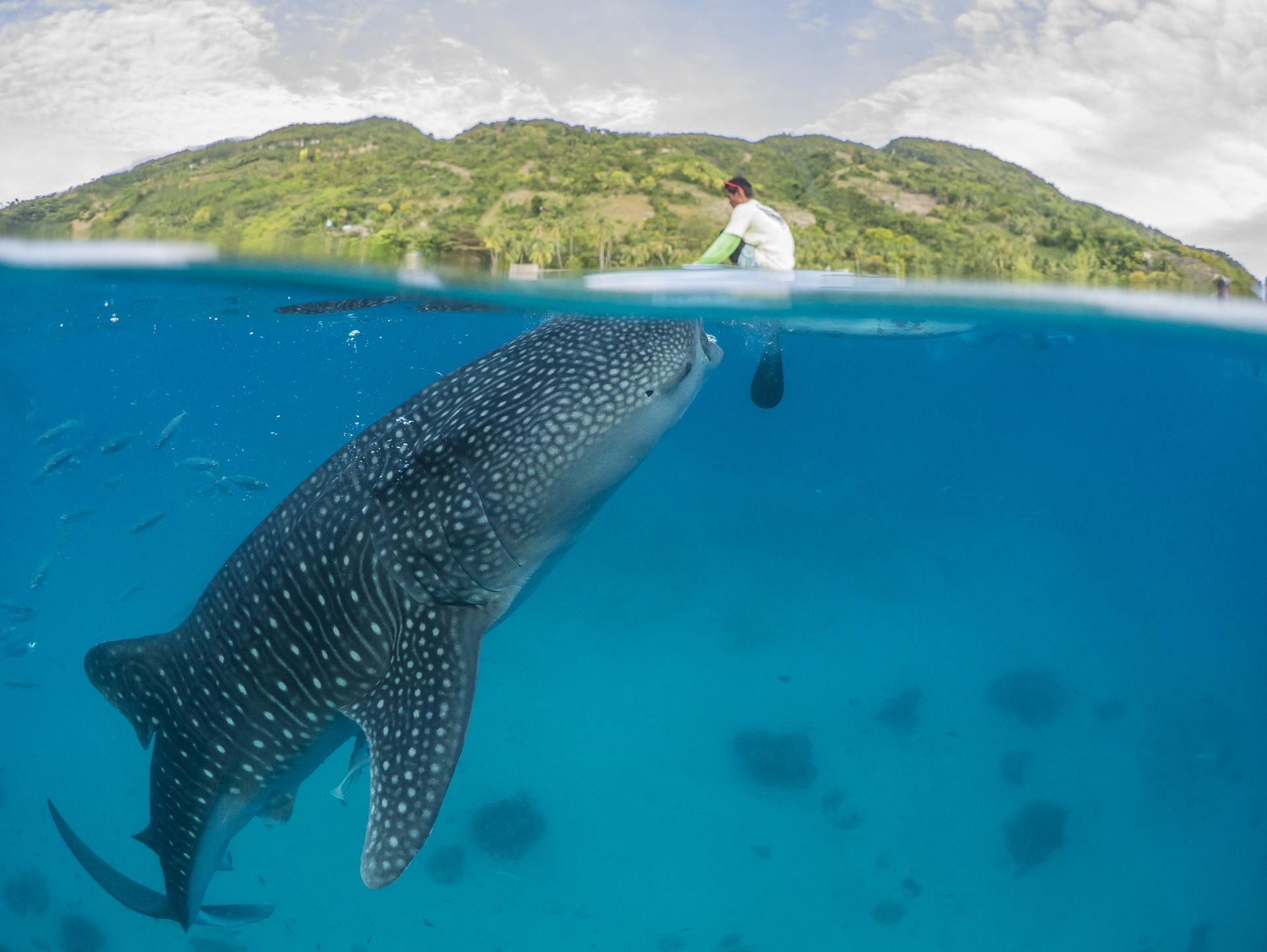 Fisherman feeding a Whale Shark off Oslob. in the Phillipines.
