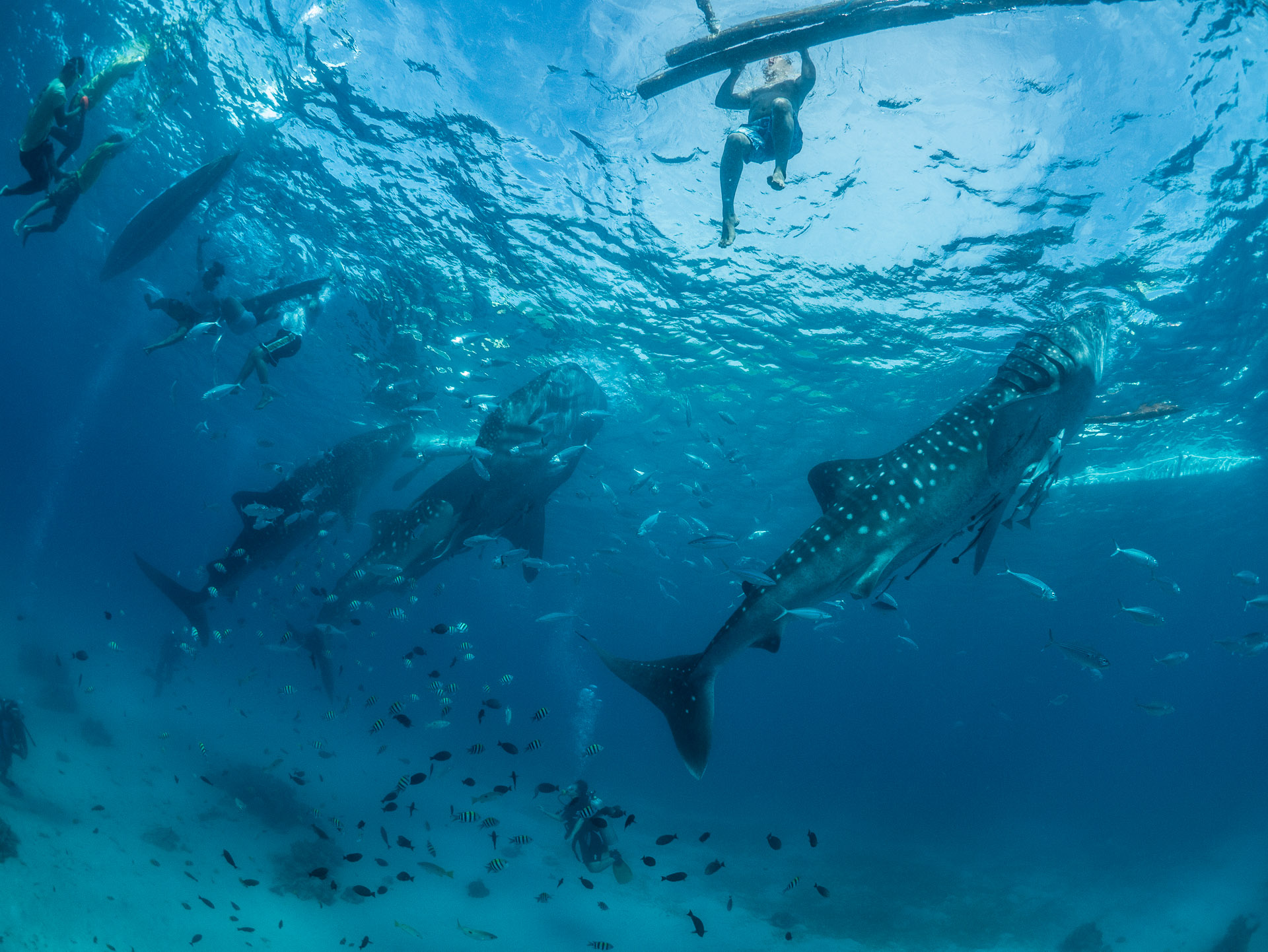 Whale Shark Tourism