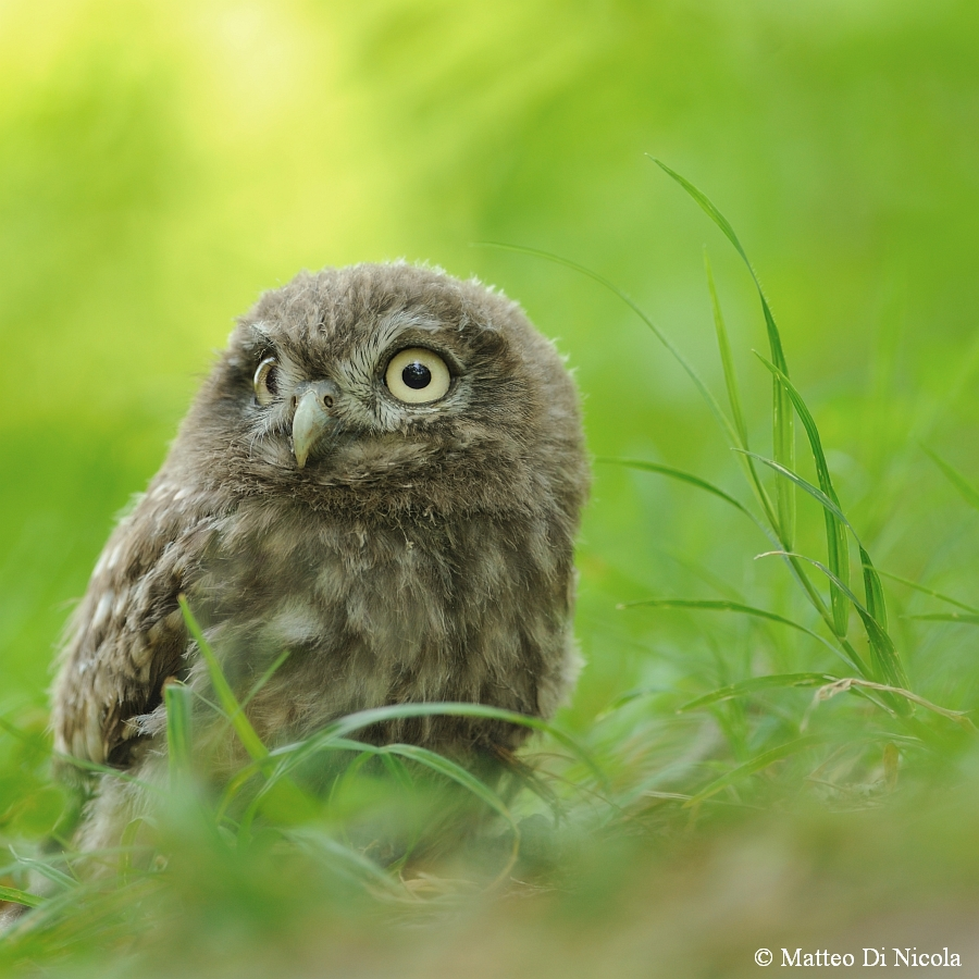 A young Owl