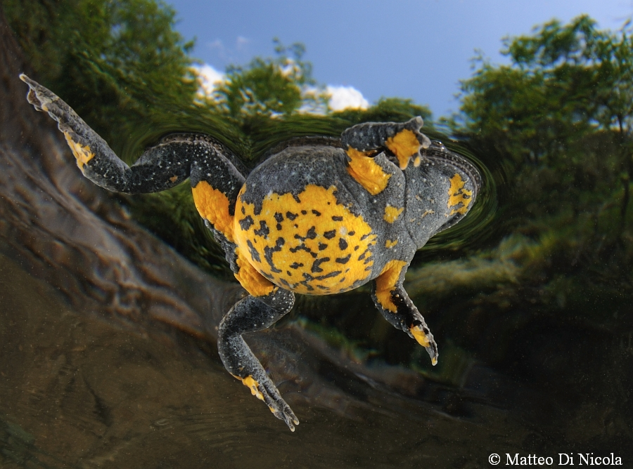 The italian endemic Apennine yellow-bellied toad