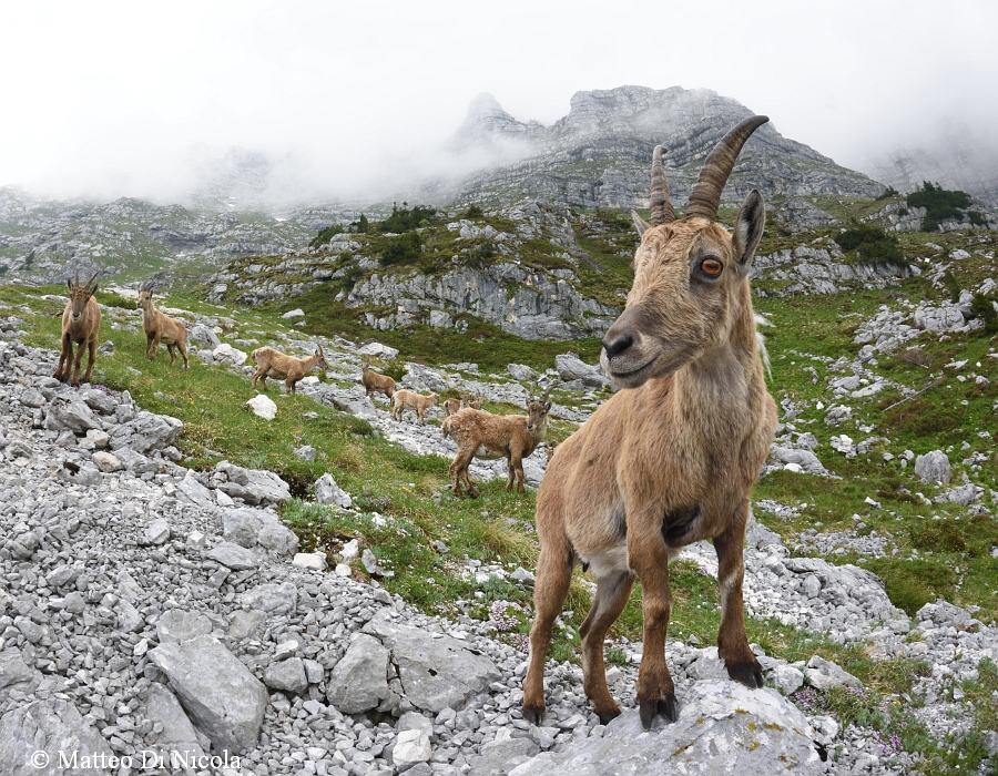 Curious young alpine ibex