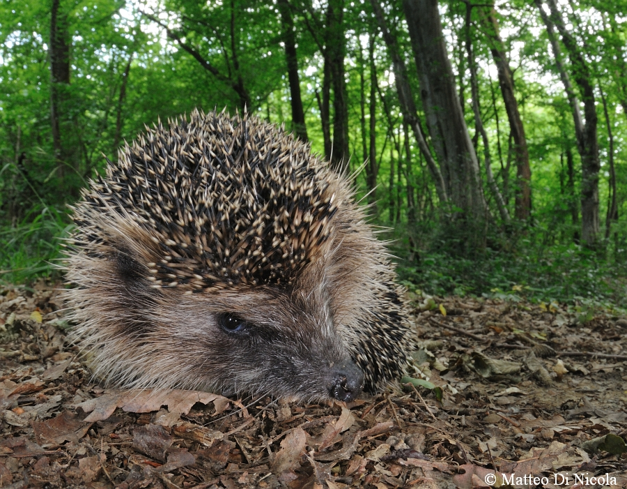A european Hedgehog