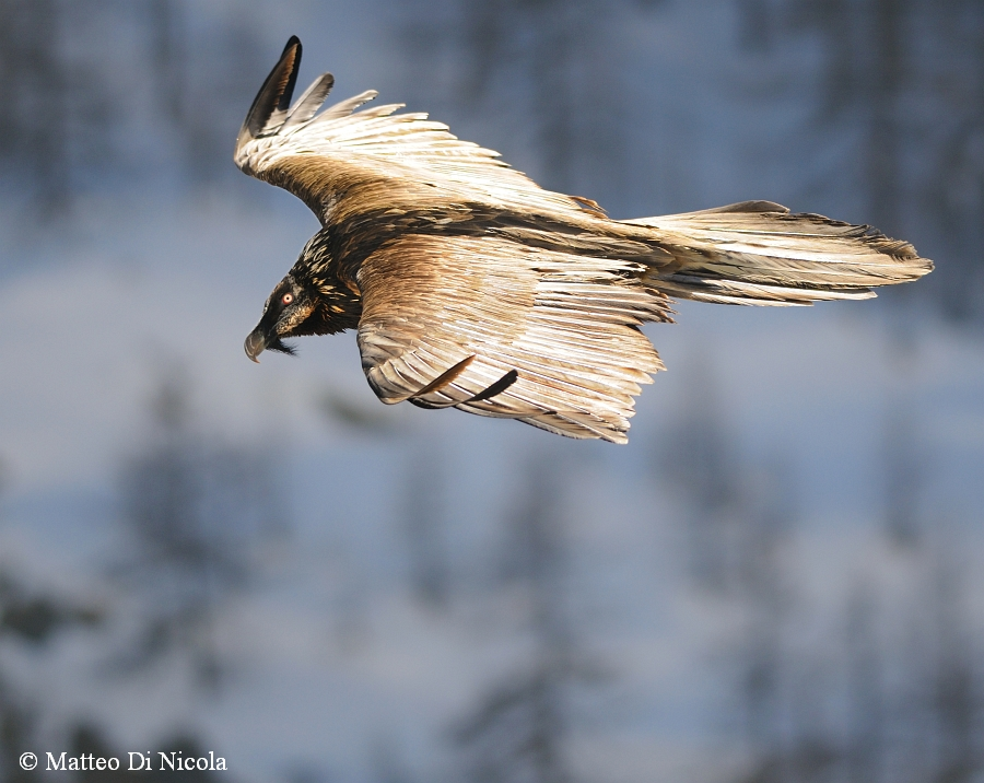 A bearded Vulture in flight
