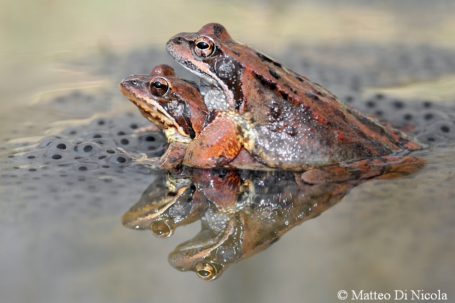 Common brown Frogs