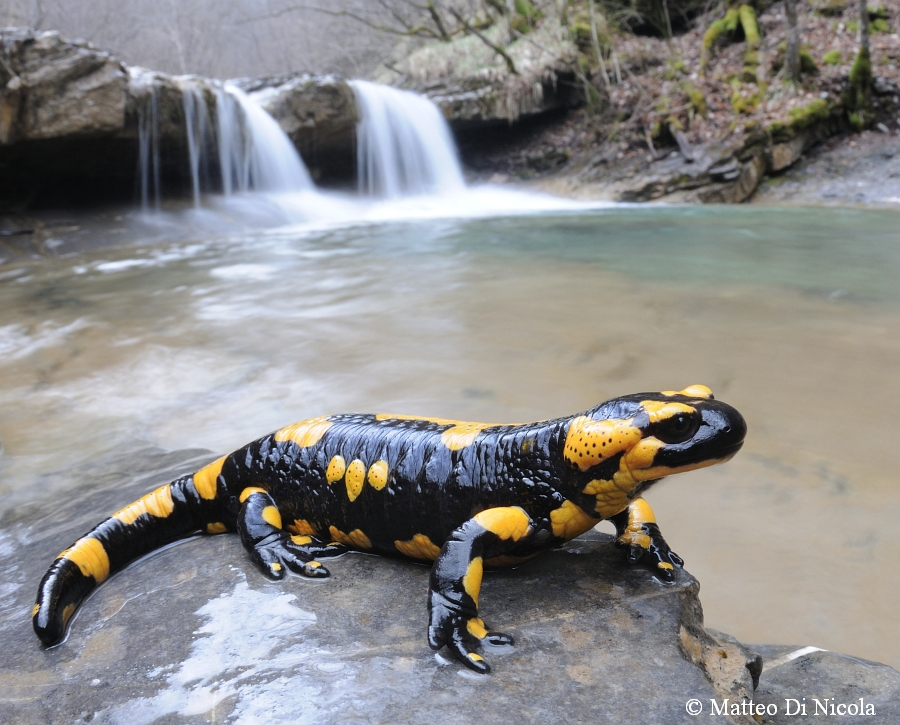 Apennine fire Salamander