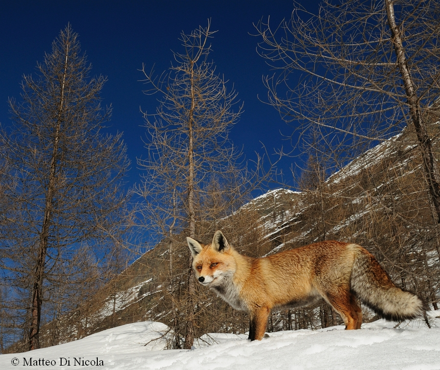 Red Fox in the Aosta Valley, Italy