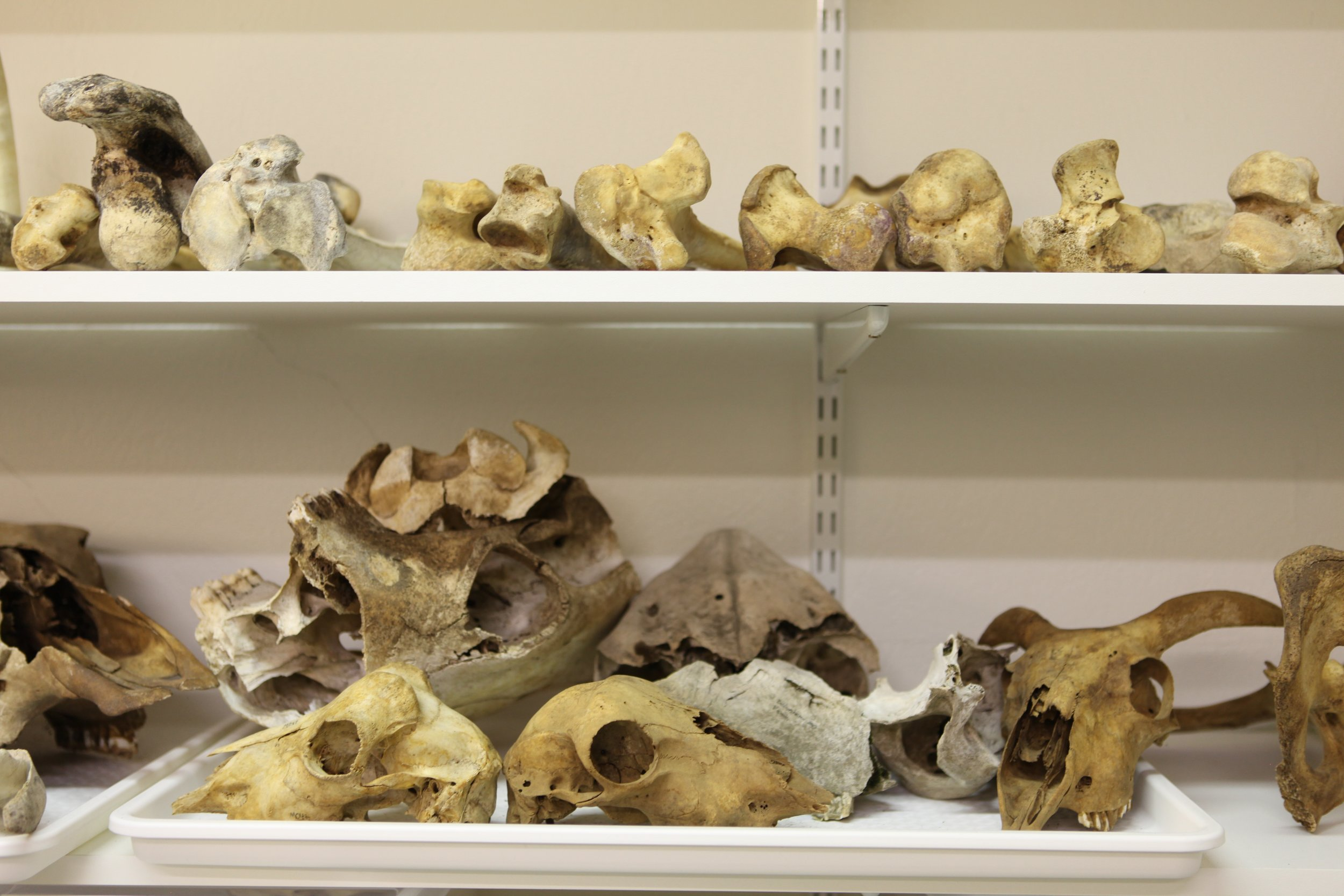 Animal bone reference collection at the Agricultural University of Iceland.