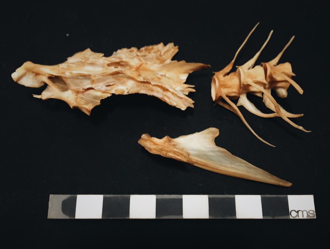 Pollack Fish Bones