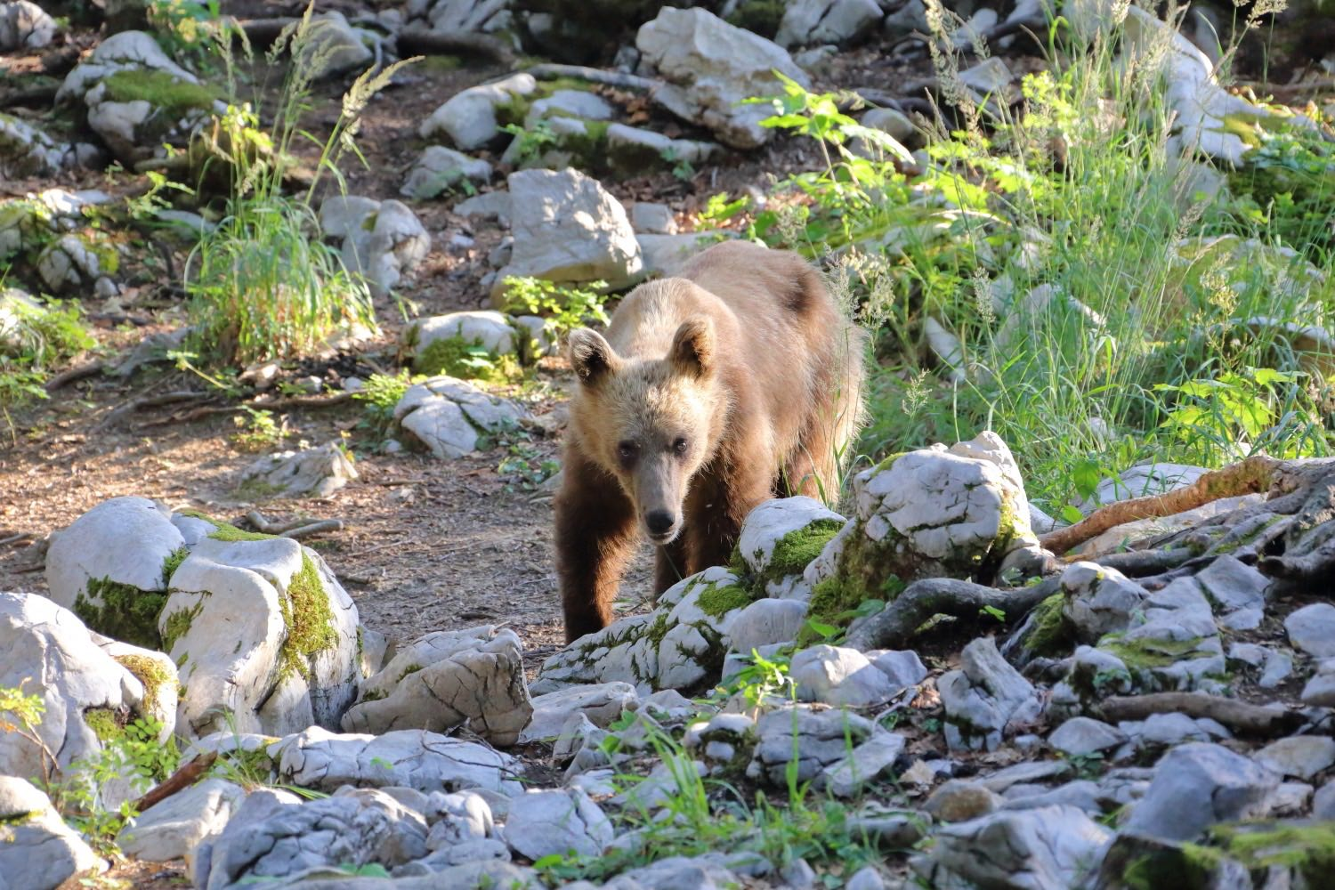 Slovenia is the land of bears, you can find more or less 700 of bears free in the wild, so watch your steps when you are walking inside the forest... 18 July 2015.   1/500 s, f/8, -1/3 EV, ISO 3200, 300 mm, EOS 6D + EF 28-300 L