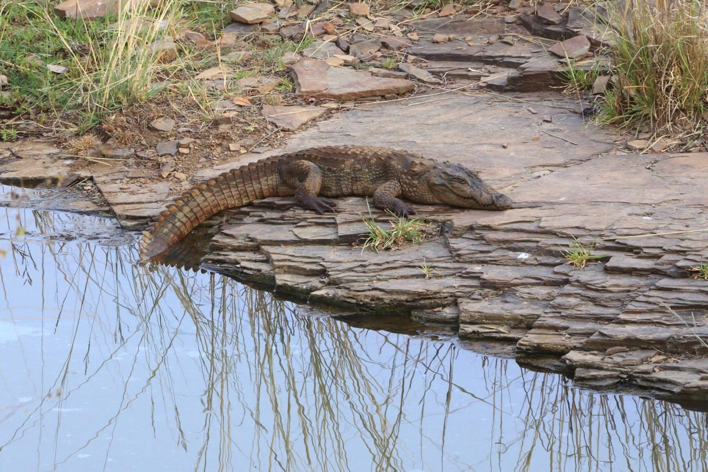 Resting alligator!    Ranthambore National Park, India. 08 May 2013. 1/160 s, f/14, +1/3 EV, ISO 2000, 300 mm, EOS 6D + EF 28-300 L