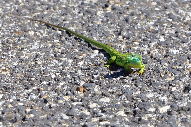 Big green lizard or dinosaur?!    Rep.of San Marino. 24 May 2014. 1/400 s, f/11, +2/3 EV, ISO 400, 300 mm, EOS 6D + EF 28-300 L