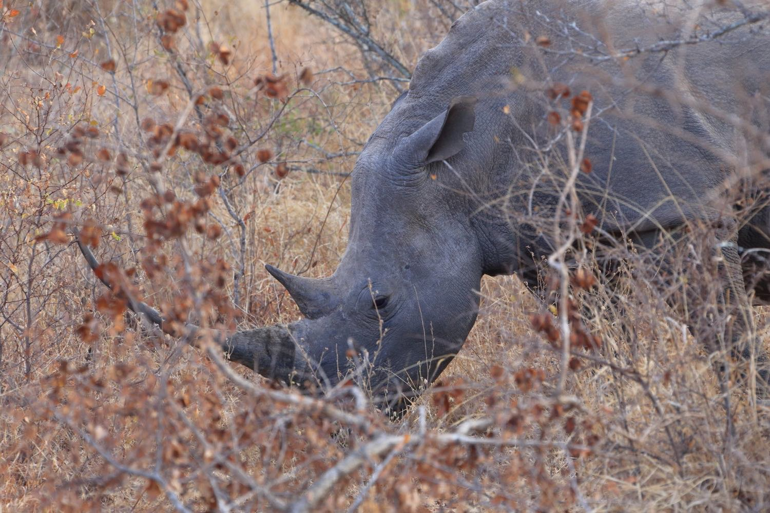 Big Rhino!    Karongwe Private Game Reserve, South Africa. 10 August 2014. 1/160 s, f/9, ISO 1600, 300 mm, EOS 6D + EF 28-300L