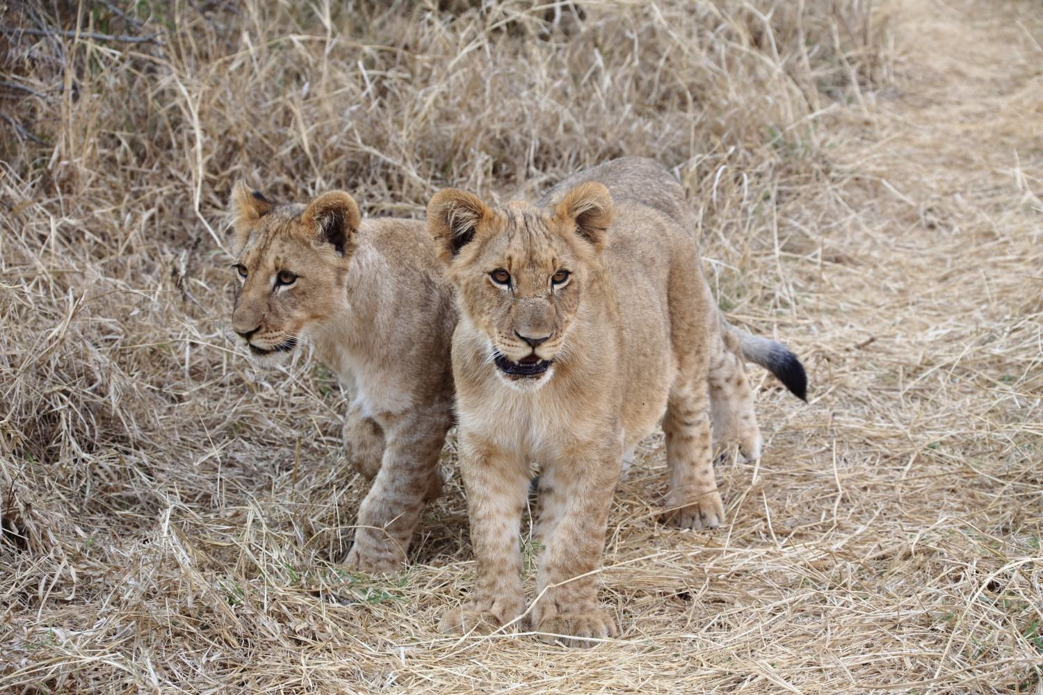 Lion cubs in the bush!    Karongwe Private Game Reserve, South Africa. 12 August 2014. 1/250 s, f/10, +1/3 EV, ISO 1600, 160 mm, EOS 6D + EF 28-300 L