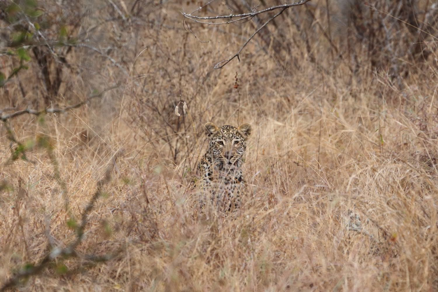 Leopard cub hiding in the bush!    Karongwe Private Game Reserve, South Africa. 13 August 2014. 1/320 s, f/8, ISO 1000, 300 mm, EOS 6D + EF 28-300L