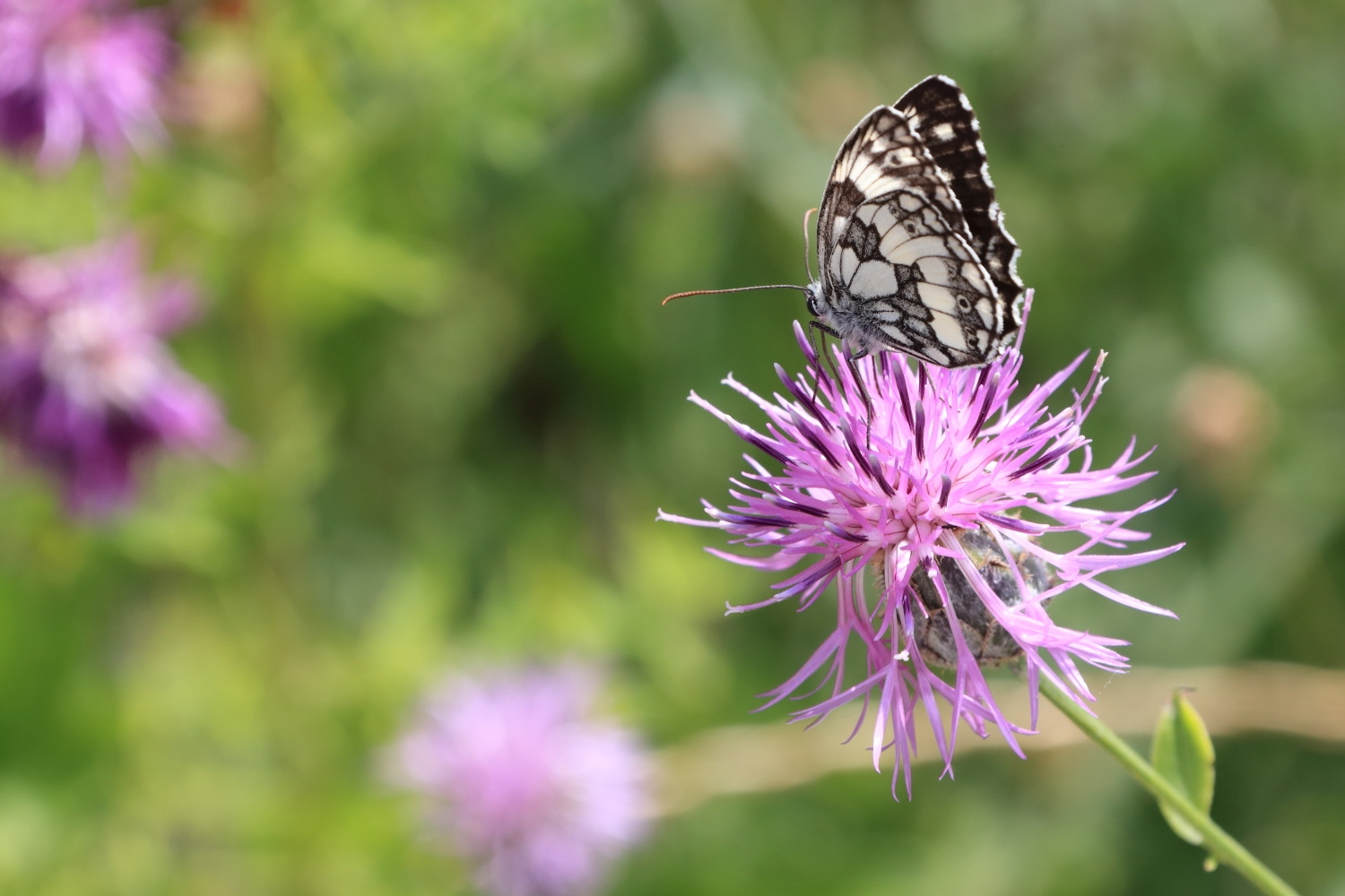 Butterfly in spring time.    Italy. 14 July 2013. 1/320 s, f/14, ISO 640, 300 mm, EOS 6D + EF 28-300 L