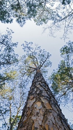 Longleaf-pine-at-Moody-Forest-Natural-Area-in-Georgia_tnc_19795933_c-Rich-Reid_1200x676.jpeg