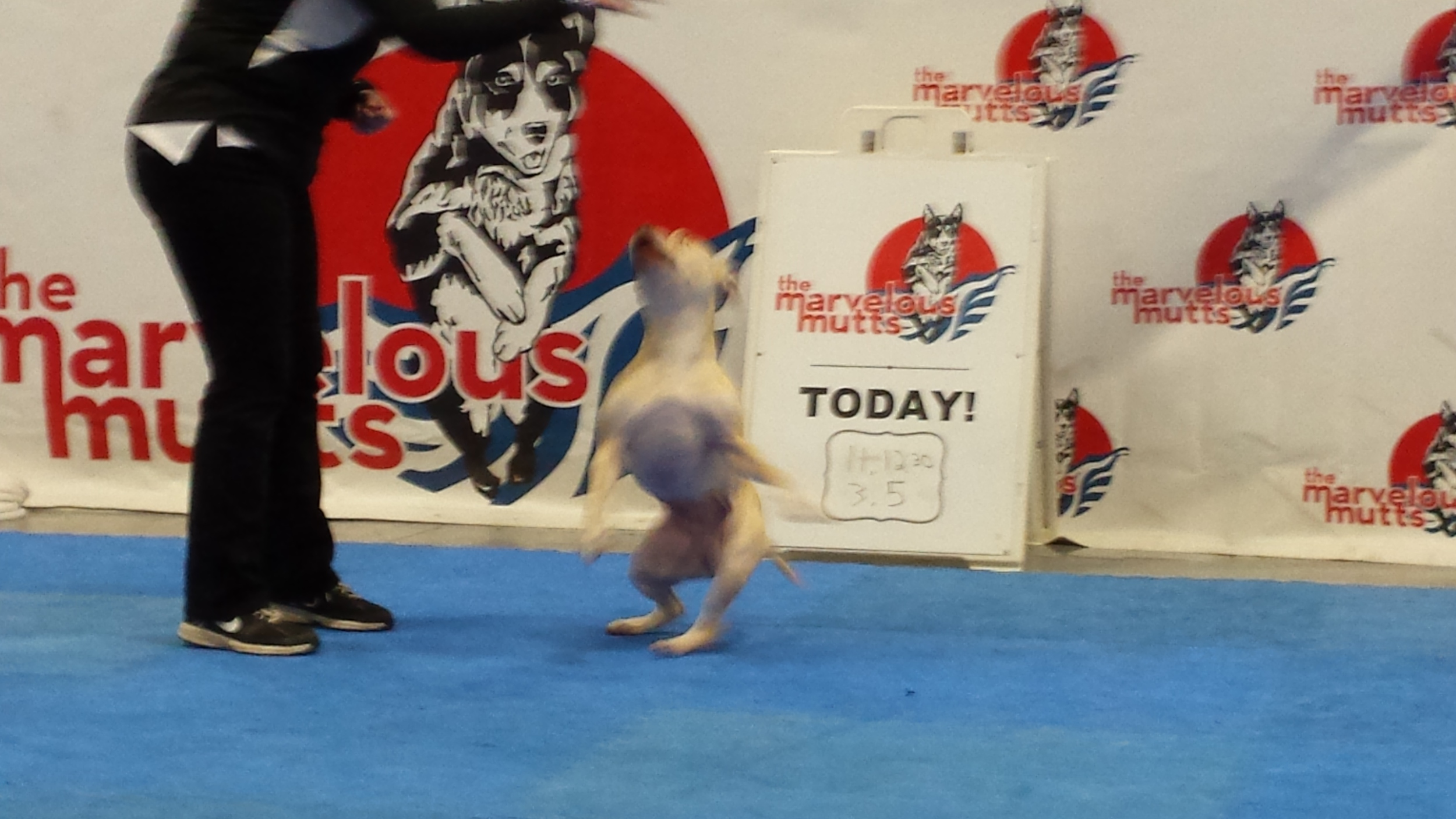Here is one of The Marvelous Mutts performing at the SuperPetExpo.