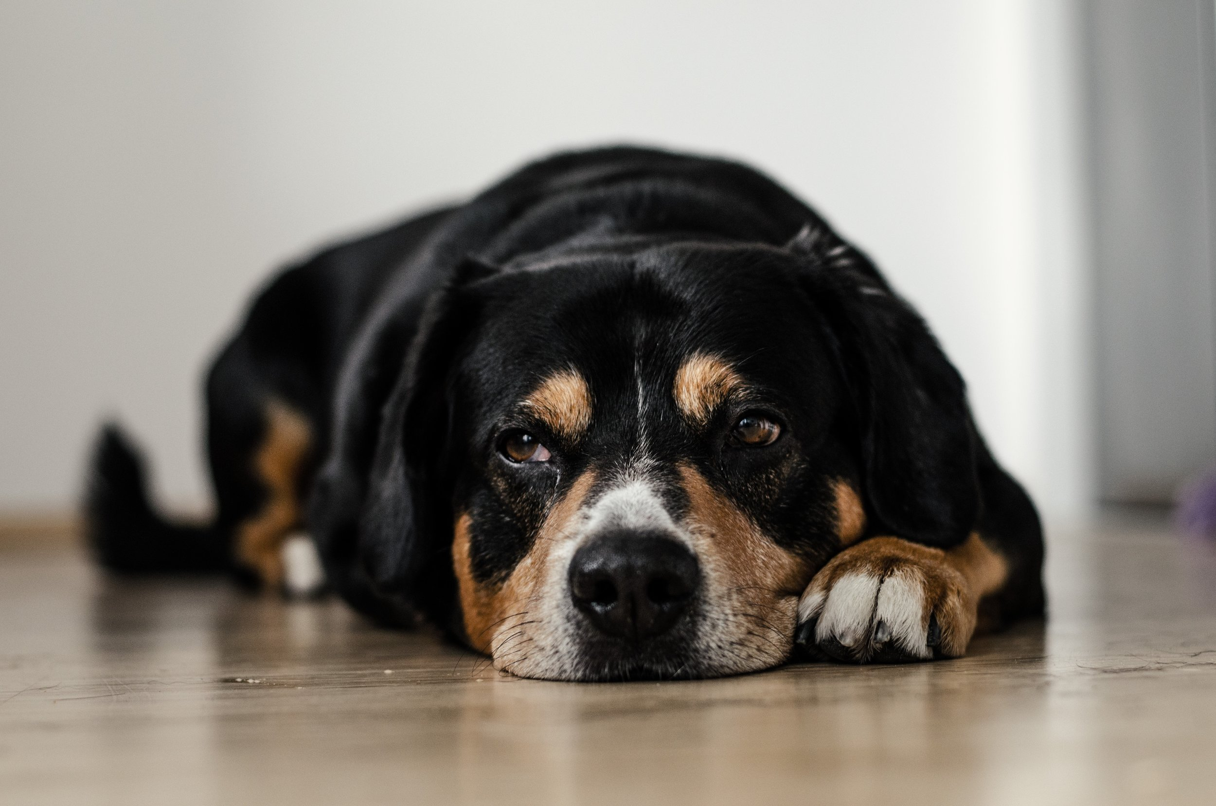 Too much or too little magnesium can cause dogs to be tired and depressed. Photo by  Dominik QN  on  Unsplash