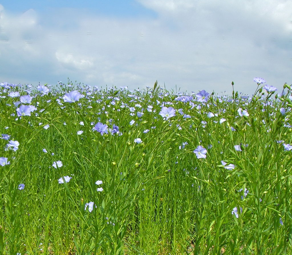 A flax field in late summer