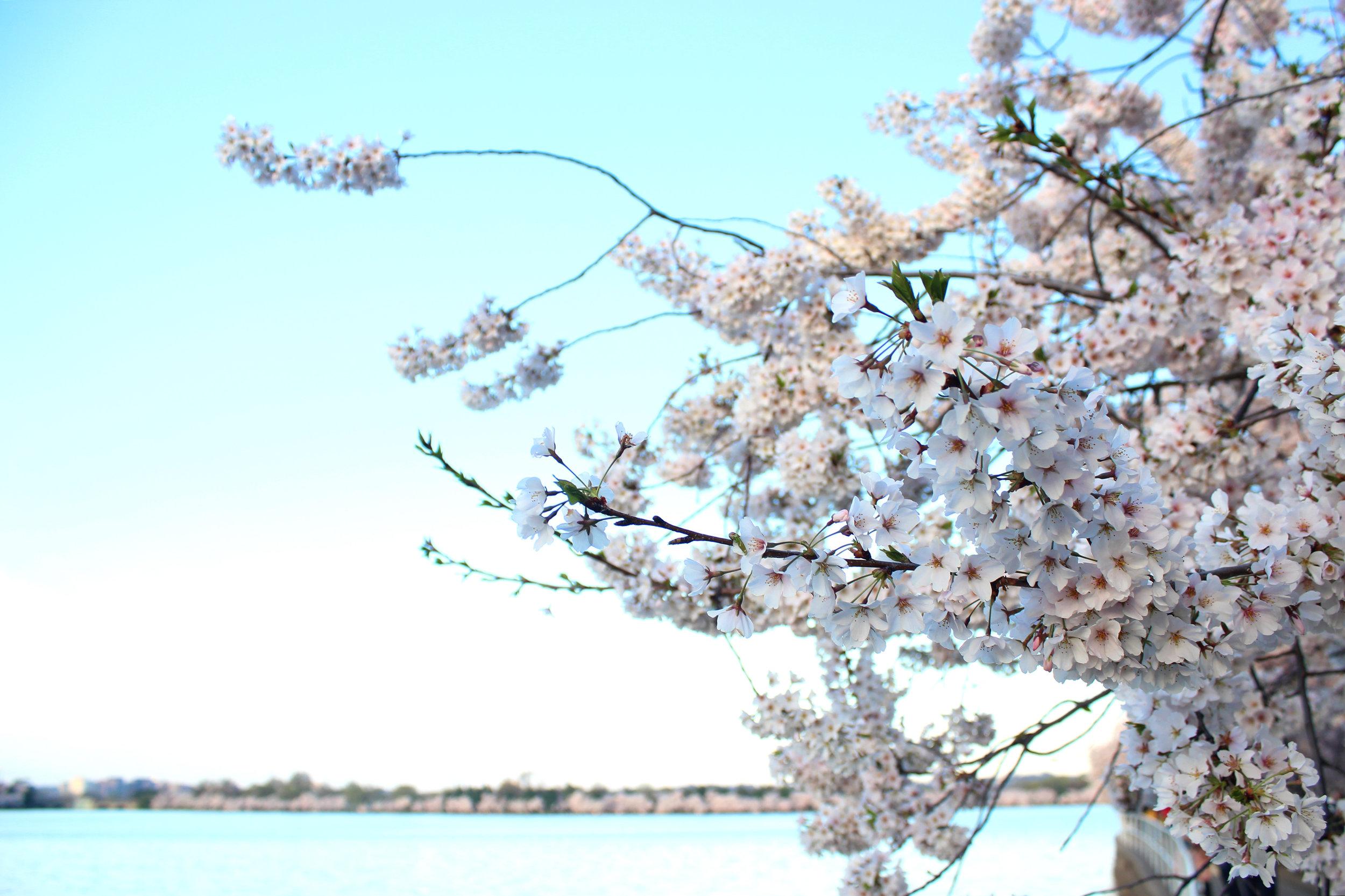 dc-cherry-blossoms-nora-knox.jpg