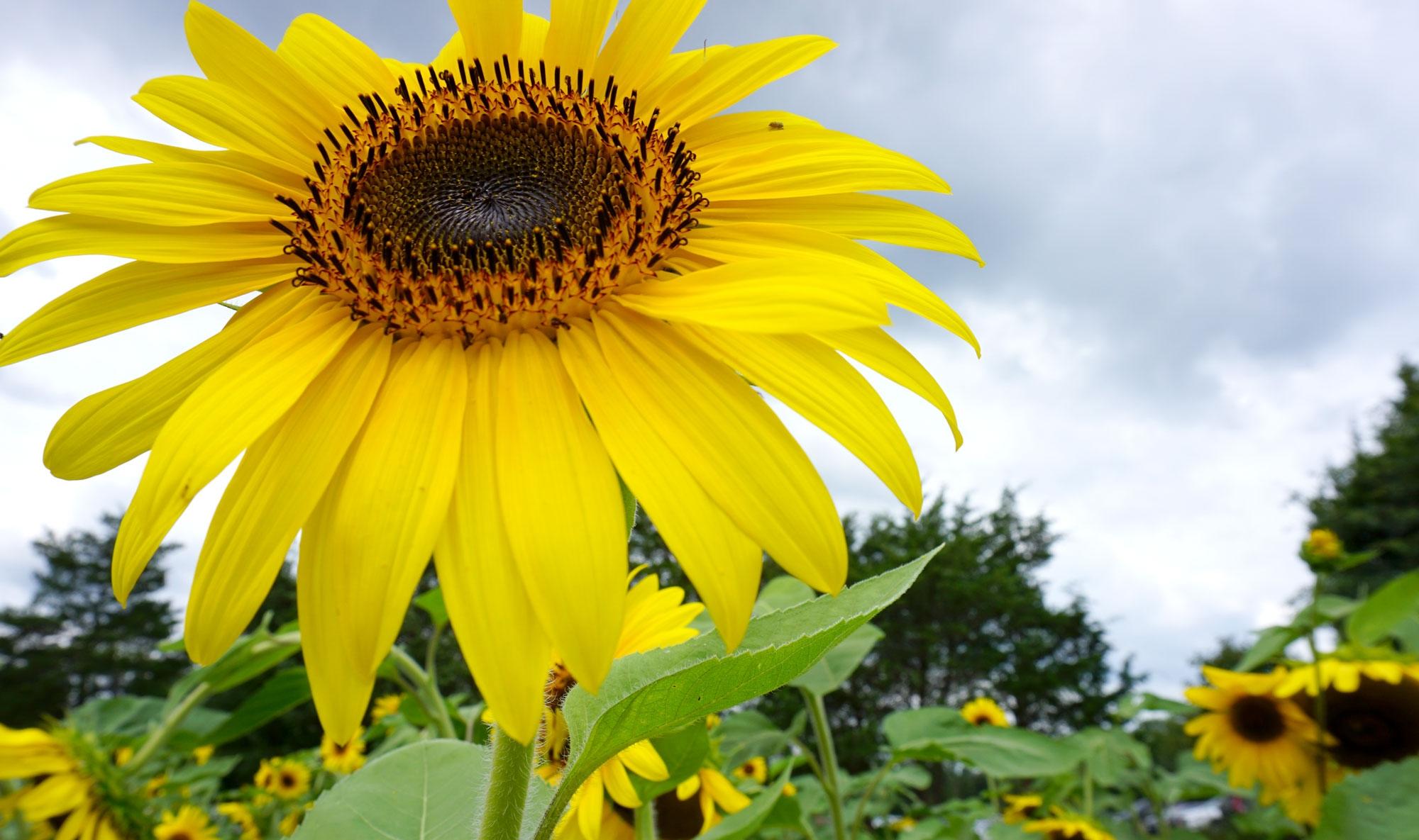 burnside-farms-sunflowers-nora-knox.jpg