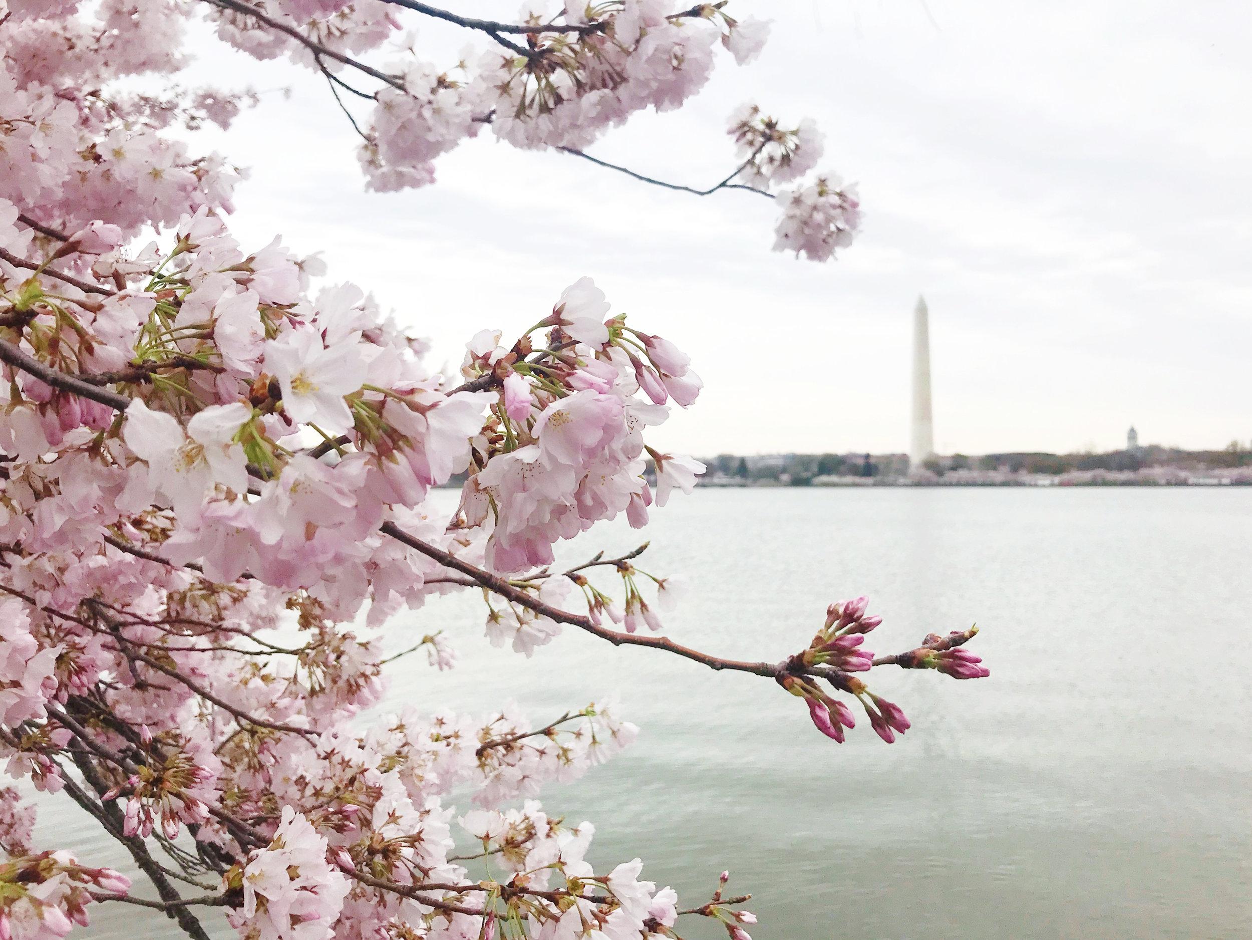 dc-cherry-blossoms-nora-knox-1.jpg