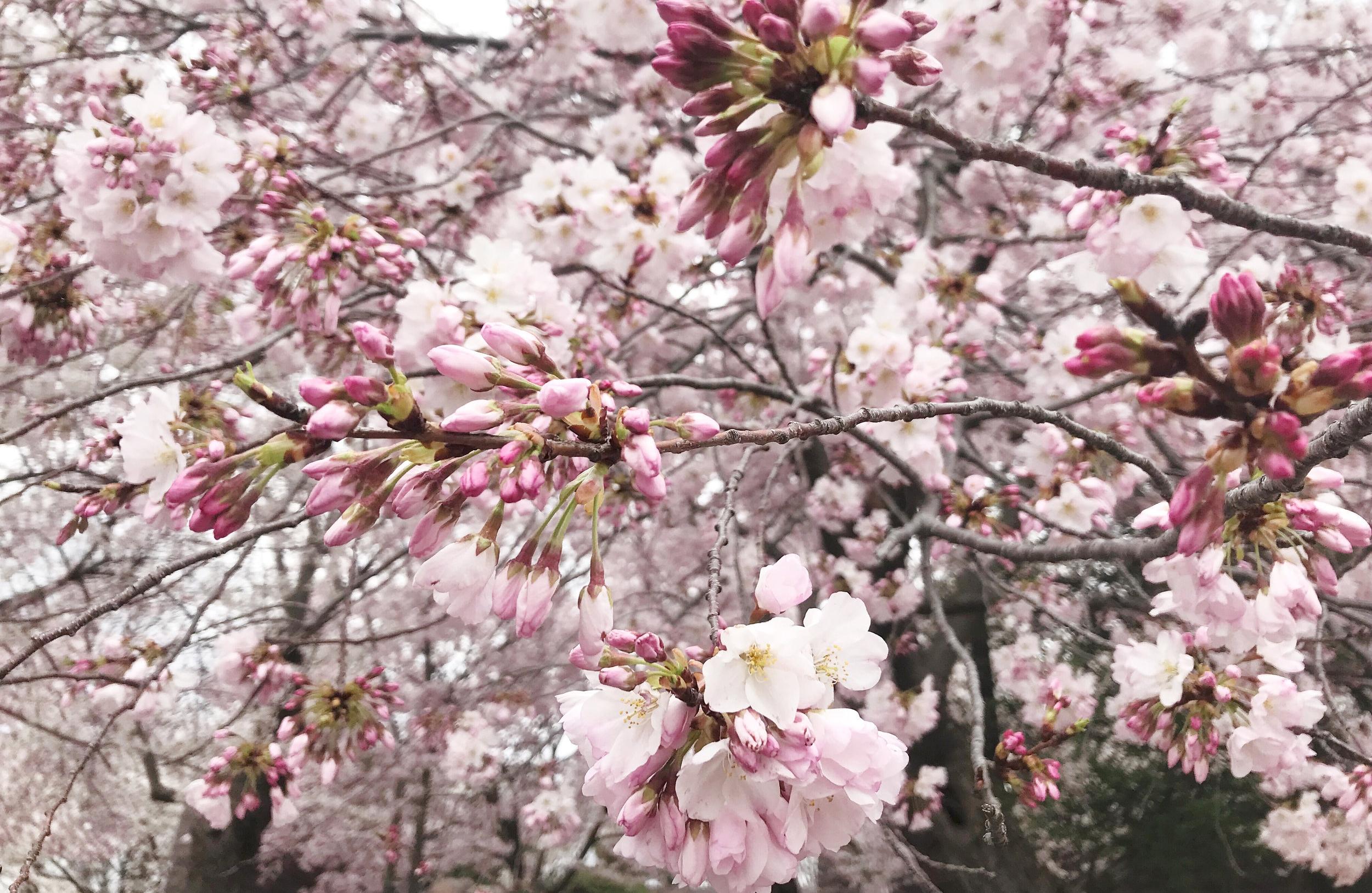 dc-cherry-blossoms-nora-knox-2.jpg