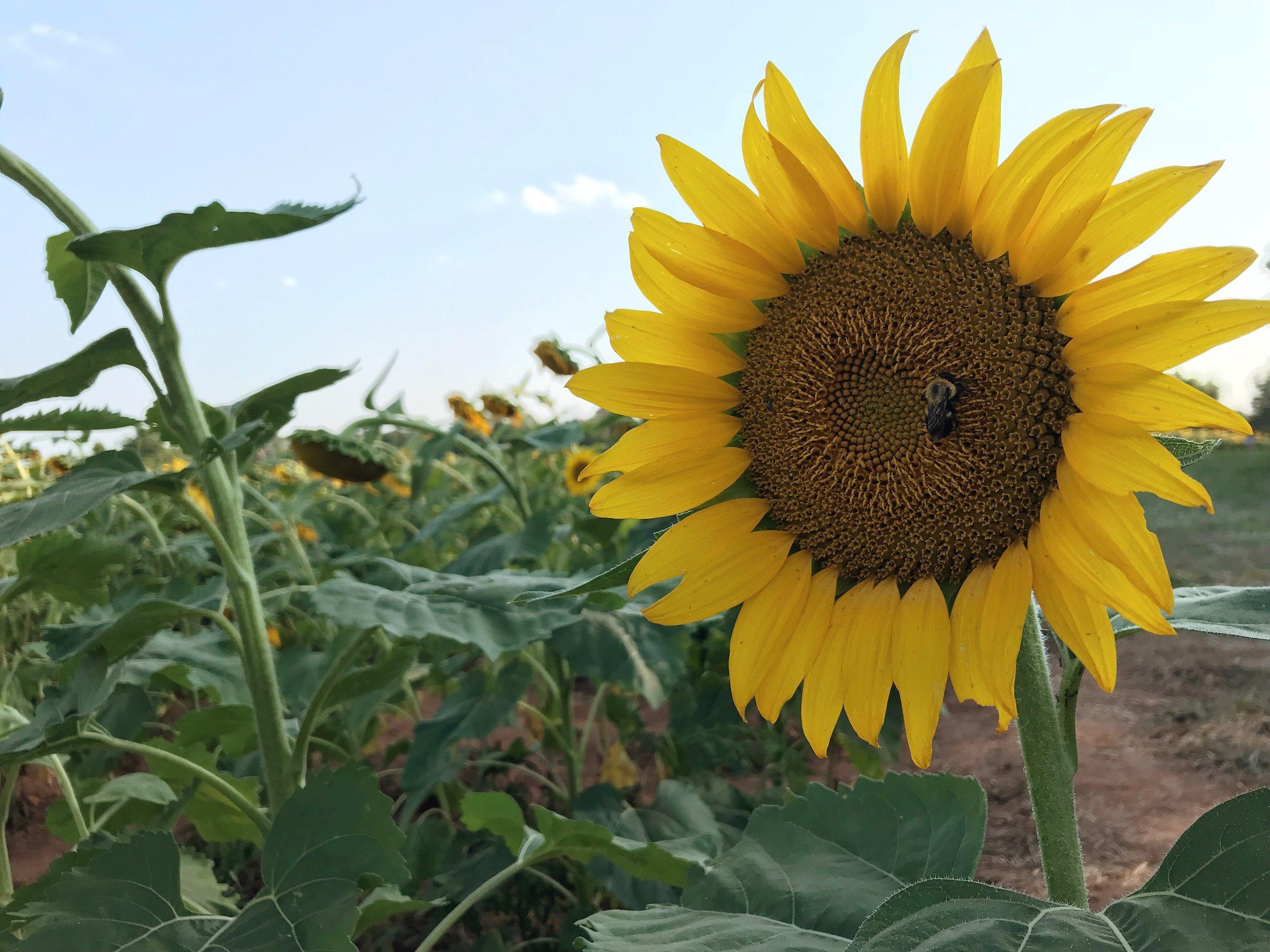 mcKee-beshers-sunflowers-nora-knox-2.jpg