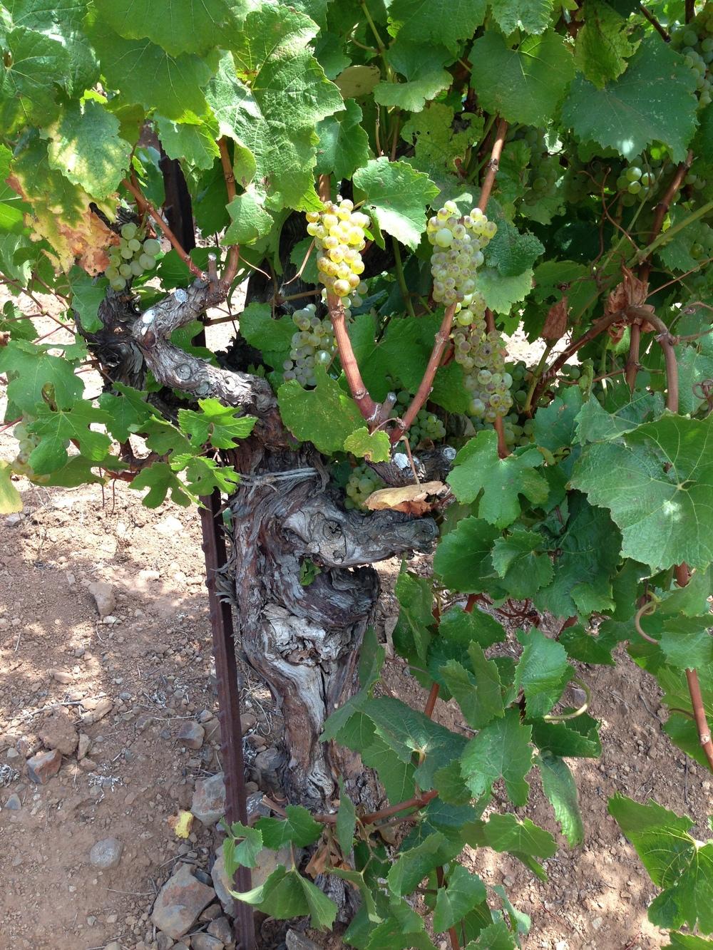 Chuy Old Vine with Chardonnay.jpg